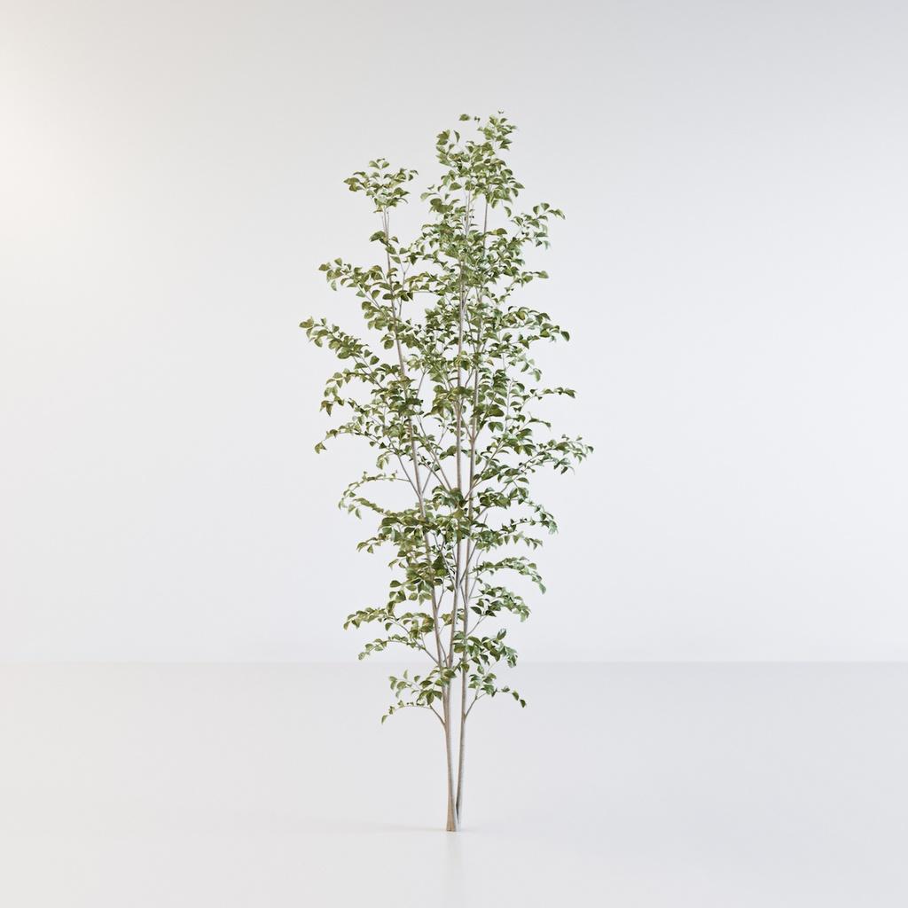 シマトネリコ3【樹木・観葉植物3Dモデル】