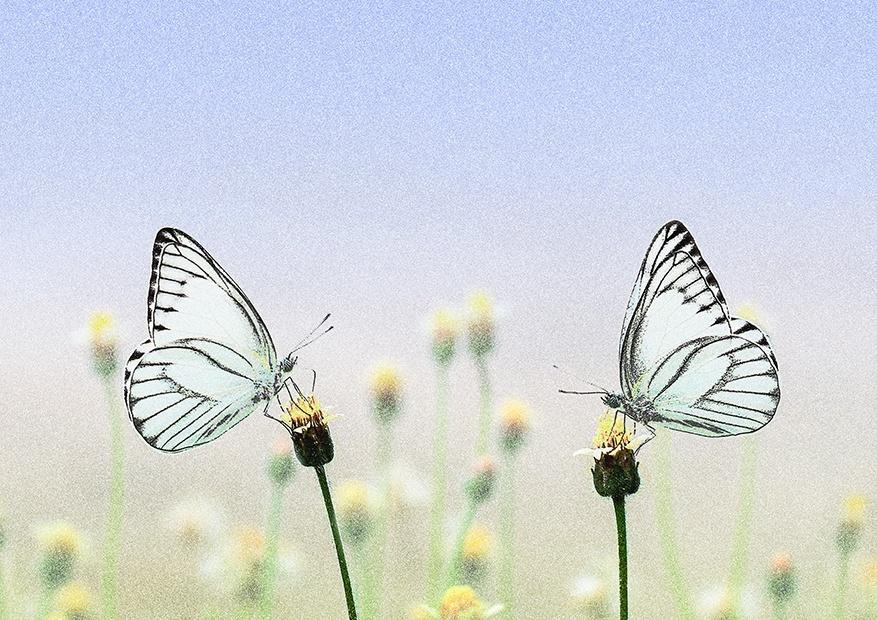蝶のお見合い アートフォト