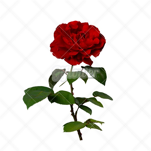 赤バラ・シングル画像/透過PNG