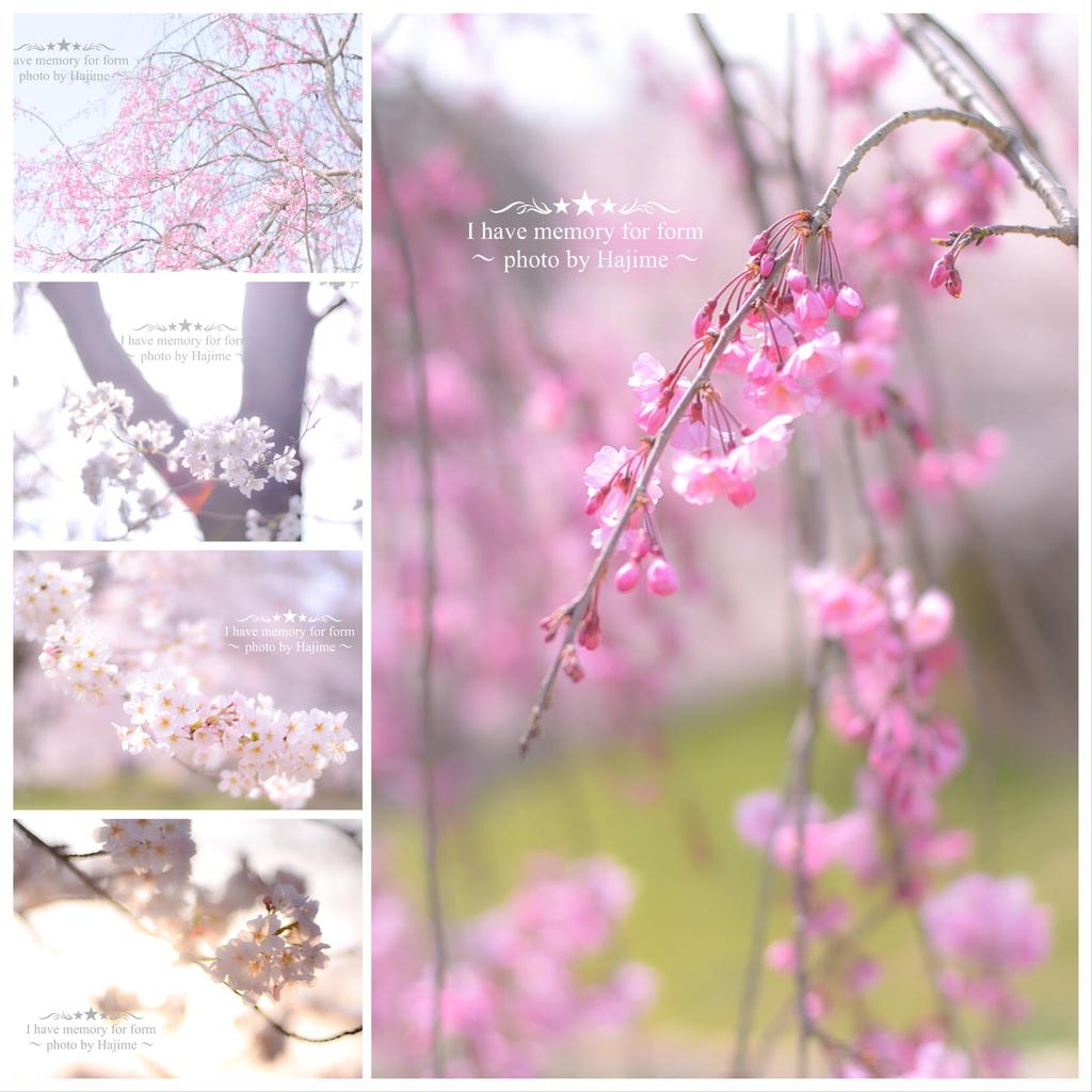 ポストカード10点セット《桜》