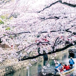 桜と川下り