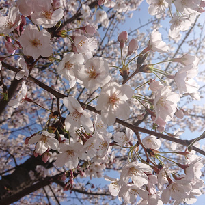 夢幻和曲集~桜花の舞~