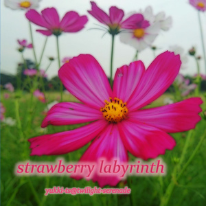 strawberry labyrinth