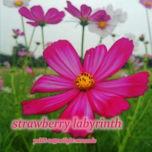 strawberry labyrinth