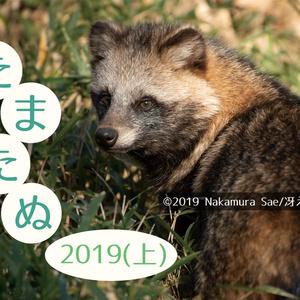 ホンドタヌキ写真集「たまたぬ2019(上)」