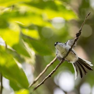 鳥のポーズ・素材集 エナガ編