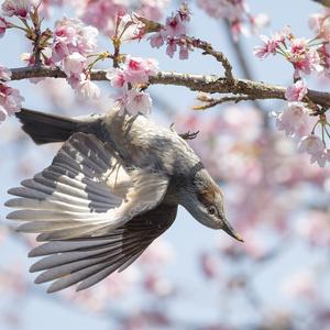 鳥のポーズ・素材集 ヒヨドリ編
