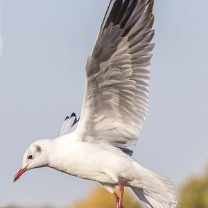 鳥のポーズ・素材集 ユリカモメ編