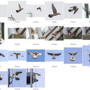 鳥のポーズ・素材集 チョウゲンボウ編
