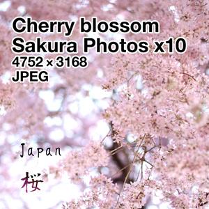 桜【画像素材】