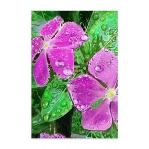 雨に濡れるニチニチソウのポストカード