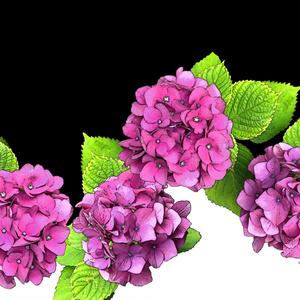 画像素材集13 紫陽花