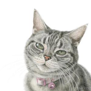 猫のハガキセット アメショ