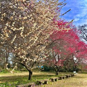 素材写真集 桜&梅