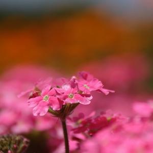 フリー素材「花」
