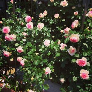 【写真素材】薔薇・414枚(アイコン用加工含)