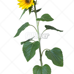 ひまわりの花、下から透過PNG-003