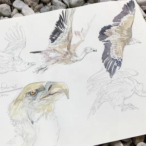 鳥ドローイング●シロアリハゲワシ