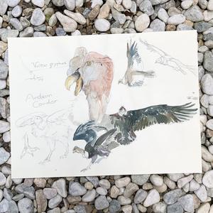 鳥ドローイング●コンドル