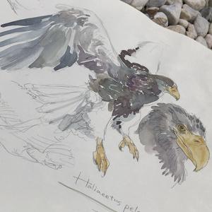 鳥ドローイング●オオワシ