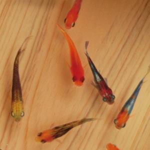 樹脂金魚 3D金魚 癒しのめだかアート「輝」【プレゼント付き】還暦祝い 誕生日 【こだわりと安心の純日本製】