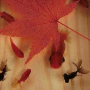 金魚 ひのきアート 3D金魚 「楽もみじ」紅葉 還暦 誕生日 結婚 男性 女性 プレゼント  お正月