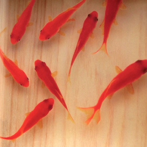 3D 金魚 ひのきアート 咲 日本製 桧 還暦祝い 誕生日 結婚 男性 女性 置物 プレゼント 赤 クリスマス お正月
