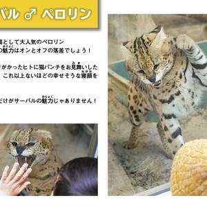 福山市立動物園のサーバルじゃけ!