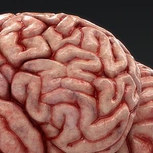 【3D素材】リアル脳みそモデル