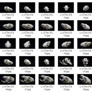 レッドフォックス頭骨写真素材集