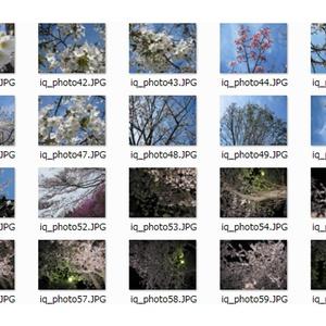 桜.その他花 写真素材