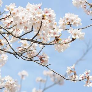 短編 桜の花が舞う頃に君と出会い