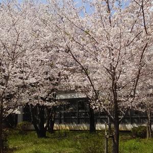 素材写真:桜2018