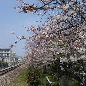 写真素材:桜2018