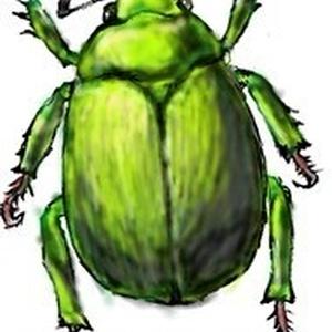 コシノコガネムシ