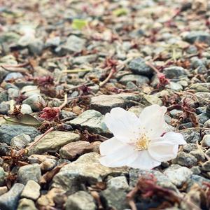 春めく - harunica -