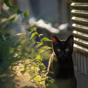 光・一瞬 ねこ写真ポストカード⑥「黒猫」