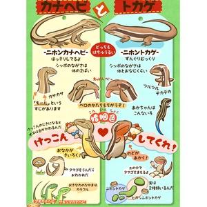 カナヘビとトカゲのみわけかた・A1ポスター